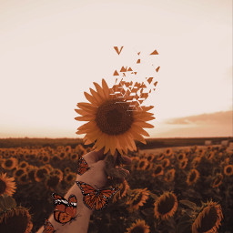 butterflies sunflowers dispersion dispersiontool freetoedit