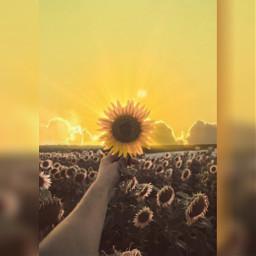 sunflower sun photoedit freetoedit ircsunflowerinmyhand sunflowerinmyhand
