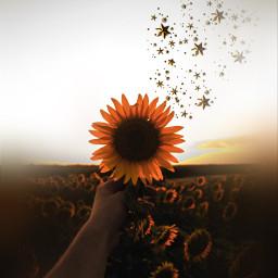 sunflower ircsunflowerinmyhand sunflowerinmyhand freetoedit