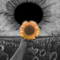 freetoedit picsart sunflower voteforme ircsunflowerinmyhand sunflowerinmyhand