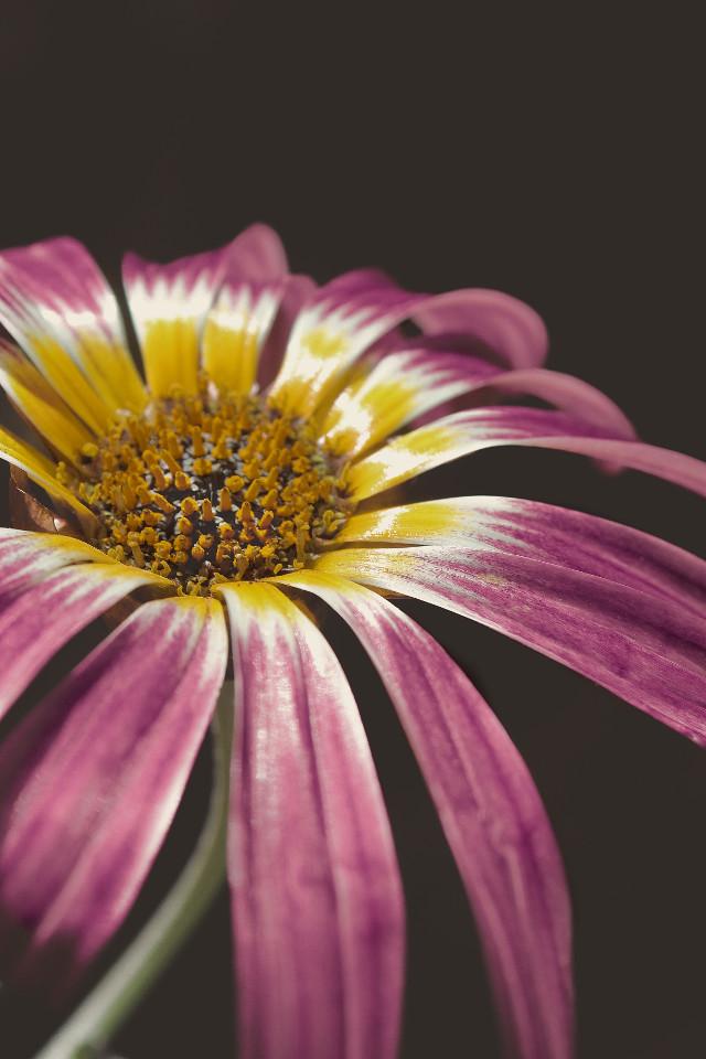 #nature #flower #closeup #naturesbeauty #minimal #colorcontrast #blackbackground #moody #darkmood #moodyedit #darkaesthetics #closeupflowerphotography                                                                                           #freetoedit
