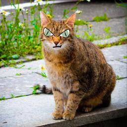 cateyes cartooneyes cat eccartoonifiedanimals cartoonifiedanimals freetoedit