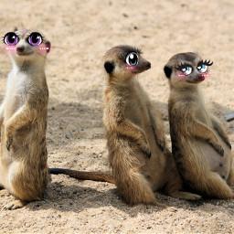 unsplash meerkat cartooneyes cute voteforme cartooneyeschallenge eccartoonifiedanimals cartoonifiedanimals freetoedit