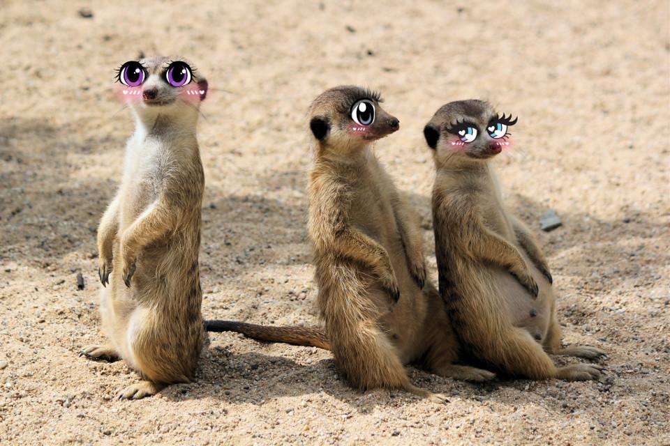 #meerkat#cartooneyes#cute#voteforme!#cartooneyeschallenge