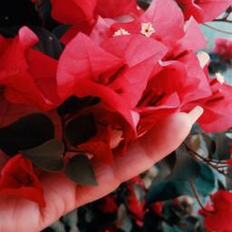 flowers inmyhands myhand bougainvillea delicate