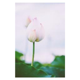 freetoedit flower lotus japan