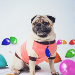 dog pug balloons ftestickers magicbrush drawtool madewithpicsart picsarteffects remixit freetoedit