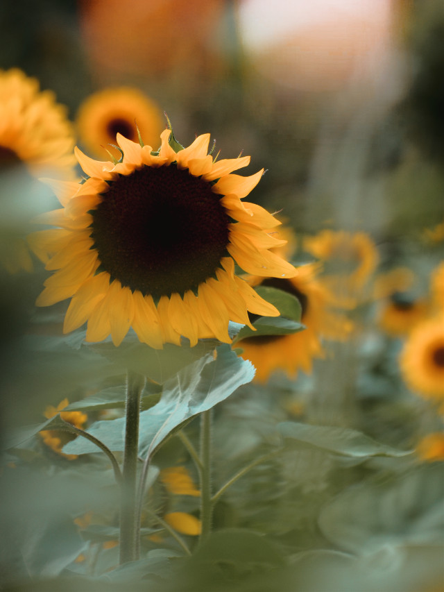 #photography #naturephotography #sunflower #yellow #flower #simple #nature #outside #sunny #freetoedit