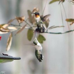 nature colorful photography birds thingsinmybackyard canonphotography hummingbird hummingbirdlover flyingbirds freetoedit