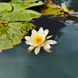 flower wildflower waterlilly lake nature beautifulnature myphoto delicacy simple freetoedit