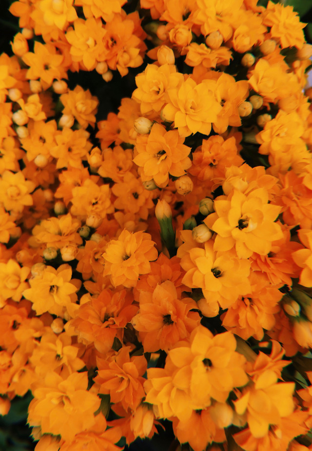 #freetoedit #flower #flowers #flor #flores #yellow #orange #amarillo #naranja #background #flowerbackground #flowerbg #orangeflower #yellowflower #orangebackground #orangebg #yellowbackground #yellowebg #simple #nature