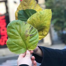 leaf leaves freetoedit pcleavesisee leavesisee