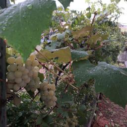 myphoyo autunno uva fogliemy