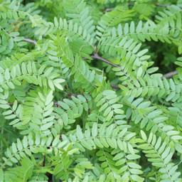 leavesgreen pcleavesisee leavesisee