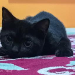 kitten cat freetoedit