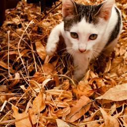 catlover hojassecas otoño🍁 freetoedit otoño pcleavesisee leavesisee