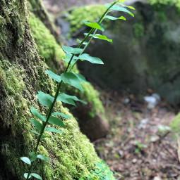 green pcleavesisee leavesisee freetoedit plantlife