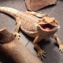 myphoto nofilter pet adorable openwide beardeddragon beardie reptile dragon love loki picsart freetoedit