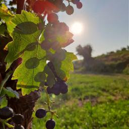 freetoedit grapes grapewine leaf sun sunbeams light bright spot nature green fall autumn evening colors