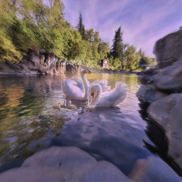 dreamy swan swans swansandcoloredtrees family children parents likeandfollow freetoedit