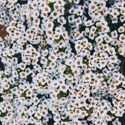 freetoedit white blanco flower flowers