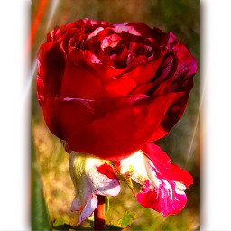 ros rose flowers flowerphotography nature lifeisbeautiful life leben art kunst kreativ kreatif kreatif_art