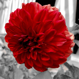 freetoedit beauty flower red gray nature blackandwhite colors edit picsart picsartedit