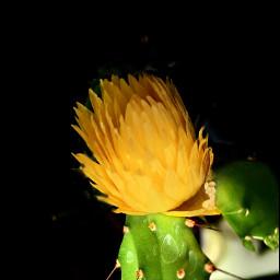 flowershoutout flower yellowflower heypicsart madewithpicsart freetoedit