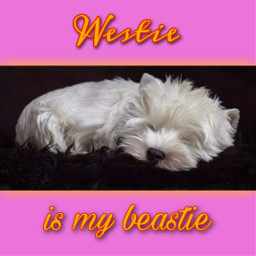 westie westies westhighlandwhiteterrier mansbestfriend dog bestfriend bestie