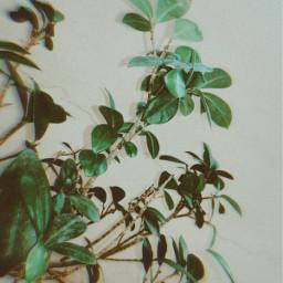 myphoto photography photographer photograph photoedit photobyme newclick picsarteffects nature plant bonsaitree green loveit background believe freetoedit