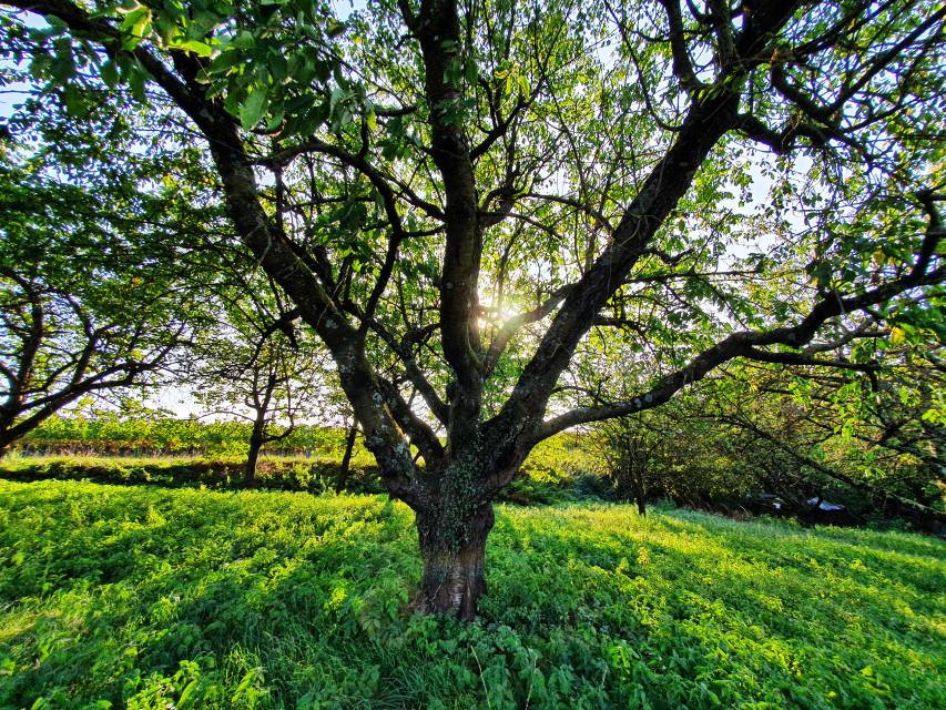 #freetoedit #tree #sun #sunlight #meadow #mystic #light #mood #trees #nature #green #evening #beautifulday #loveit #colors