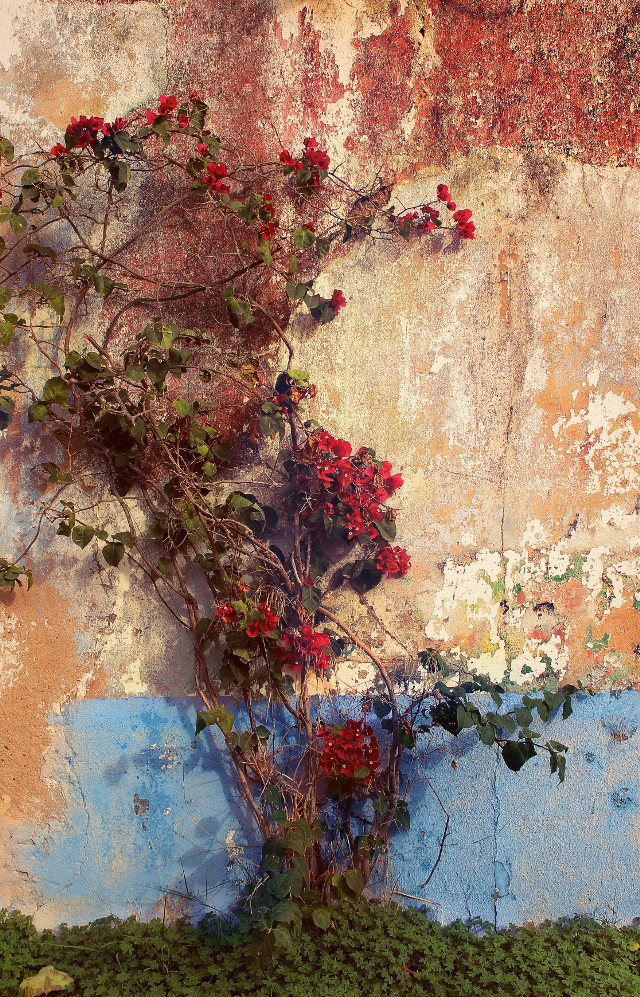 #abandonedplaces #urbanexploration #abandonedhouse #wall #oldwall #plants #urbannature #grungetexturedwall #colorfulaesthethetic #plantsandflowers #shamrocks #bougainvilleas #urbannaturephotography
