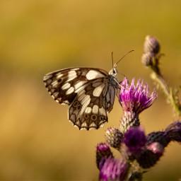 photography butterfly naturephotography closeup freetoedit