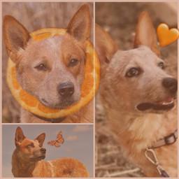 australiancattledog redheeler dog cute redheelerdog cattledog ccorangeaesthetic orangeaesthetic