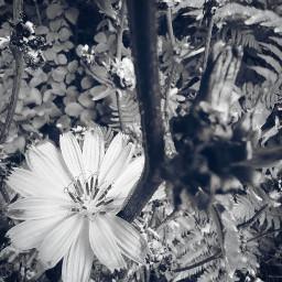 flower blackandwhite pcblack&whitenature black&whitenature