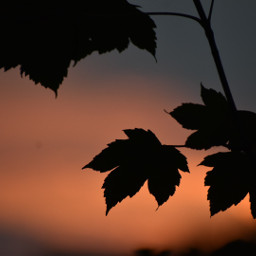freetoedit photography bough leaves sunset