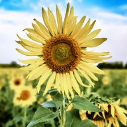 sunflower field september freetoedit