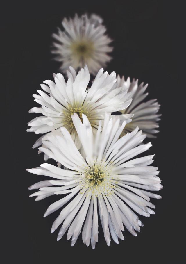 #nature #flowers #naturesbeauty #whiteflowers #succulentflowers #moodyedit #blackbackground #depthoffield #naturephotography