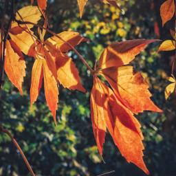 freetoedit leaves autumn nature myphoto
