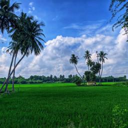 nature naturephotography naturelovers farmland farmfield green bluesky blue cloudsandsky mobile mobilephotography freetoedit