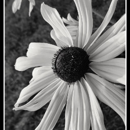 blacknwhite flowers