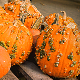 outdoorphotography farmersmarket halloweenspirit pampkins freetoedit