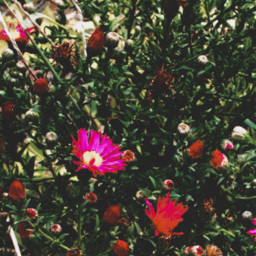 freetoedit flowers pink nature myclick