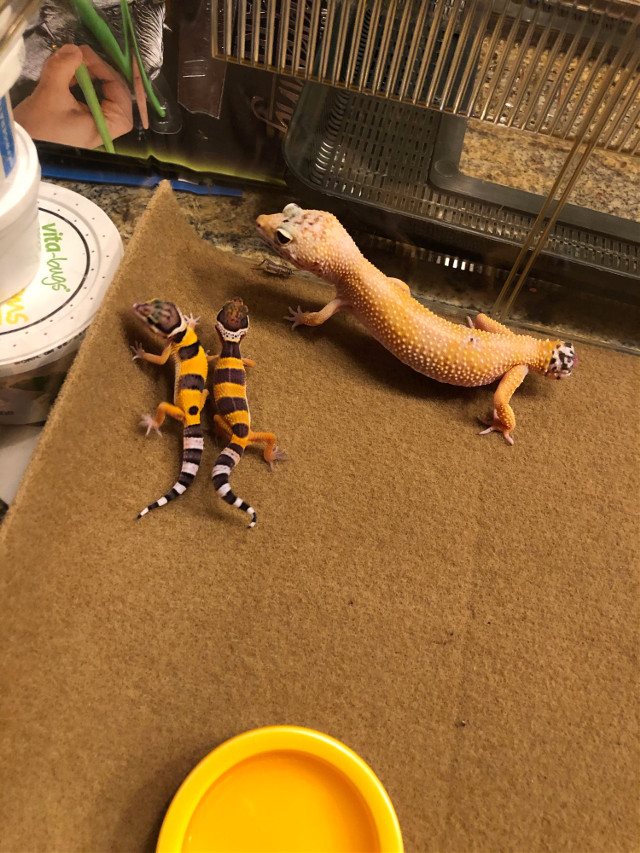 They got to meet their mama! #gecko #mom #cute #adorable #leopardgecko #gecko #familyreunion #sweet #geckos #mylizards #luvu #yey