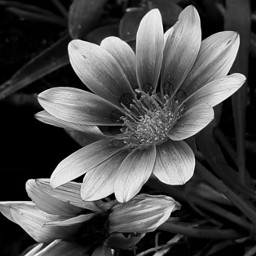 photography myclick bnw nature flower simple freetoedit