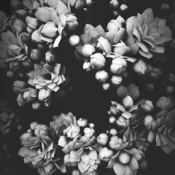 freetoedit pcblack nature flowers naturesbeauty blackandwhitenature monochromatic monotone blackanwhitephotography