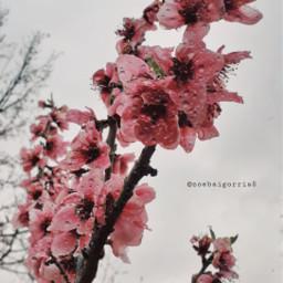 freetoedit sprig rain flowers pinkrose srcrainonme