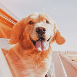 happy happinessbegins happiness dog goldenretriever dogsofpicsart cars freetoedit