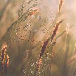 nature simplenature wildplants grass simplebeauty freetoedit