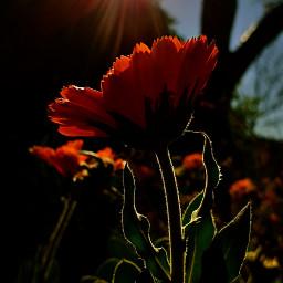 freetoedit spring calendula pcprimavera primavera